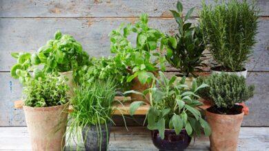 Photo of 28 ervas medicinais para ter no seu jardim