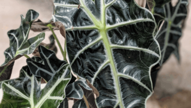 Photo of Alocasia ou Elephant Ear Care Plant Care Guide
