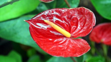 Photo of Anturio (Anthurium Scherzerianum Schott)