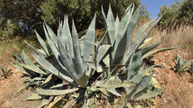 Photo of Cactus agave