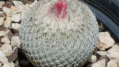 Photo of Cactus Care Gymnocalycium mihanovichii enxertado ou tampa amarela