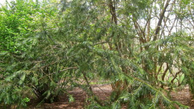 Photo of Cephalotaxus fortunei ou Fortune Yew plant care