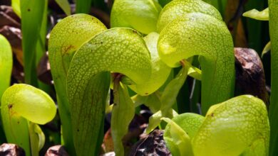 Photo of Cobra Lily Care