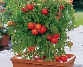 Photo of Como cultivar tomates em vasos e recipientes