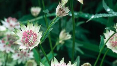 Photo of Como o plantio da Astrantia major ou Astrance