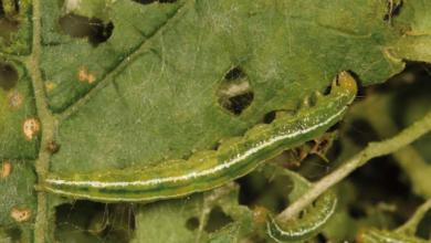 Photo of Controle de insetos da abóbora – Controle de insetos da abóbora