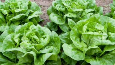 Photo of Crescimento da Tatsoi: variedades, guia de plantio, cuidados, problemas e colheita