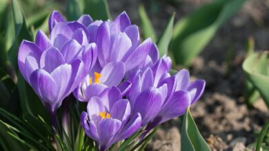 Photo of Crocus
