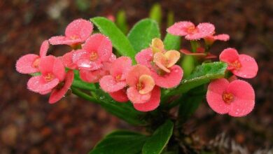 Photo of Crown of Thorns Growth Spurge