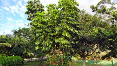 Photo of Cuidados a Schefflera actinophylla ou árvore guarda-chuva