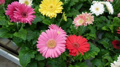 Photo of Cuidados com a Gerbera jamesonii ou margarida africana