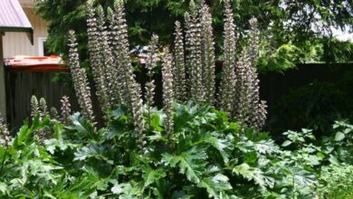 Photo of Cuidados com a planta Acanthus mollis, Bearfoot ou Acanthus