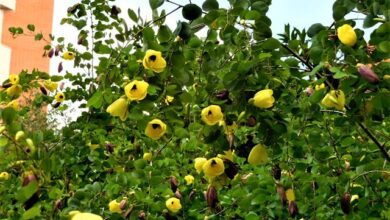Photo of Cuidados com a planta Bauhinia tomentosa ou Bauhinia yellow