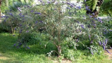 Photo of Cuidados com a planta Buddleja davidii ou Budelia
