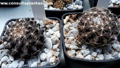 Photo of Cuidados com a planta Copiapoa humilis ou Humildito