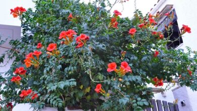 Photo of Cuidados com a planta de Radicans Campsis ou Red Bignonia