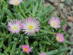 Photo of Cuidados com a planta Delosperma tradescantioides ou Aptenia white