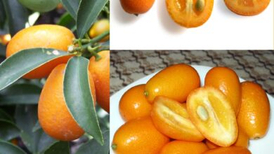 Photo of Cuidados com a planta Fortunella, Kumquat ou Laranja Chinesa