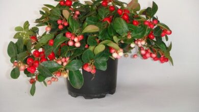 Photo of Cuidados com a planta Gaultheria procumbens, Wintergreen ou Axocopaque