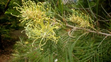 Photo of Cuidados com a planta Grevillea Golden Yu-Lo ou Grevillea