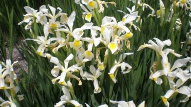 Photo of Cuidados com a planta Iris orientalis ou White Lily
