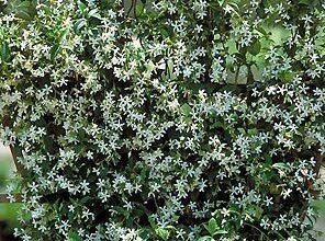 Photo of Cuidados com a planta Jasminum nitidum ou Star Jasmine
