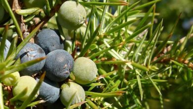 Photo of Cuidados com a planta Juniperus communis ou zimbro comum