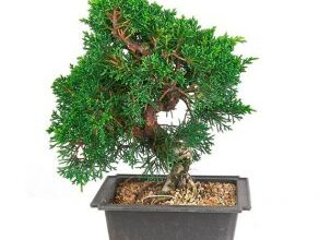 Photo of Cuidados com a planta Juniperus oxycedrus, Each ou Juniper red