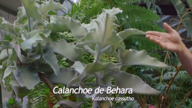 Photo of Cuidados com a planta Kalanchoe Beharensis ou Behara Calanchoe
