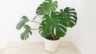 Photo of Cuidados com a planta Monstera deliciosa ou Adam's Rib