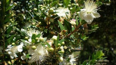 Photo of Cuidados com a planta Myrtus communis, myrtle ou myrtle