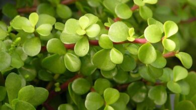 Photo of Cuidados com a planta Portulacaria afra ou Elephant bush
