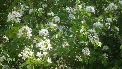 Photo of Cuidados com a planta Prunus mahaleb, Cerecino ou Marel