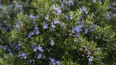 Photo of Cuidados com a planta Rosmarinus officinalis ou Rosemary