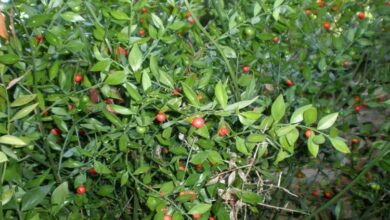 Photo of Cuidados com a planta Ruscus aculeatus ou Rusco