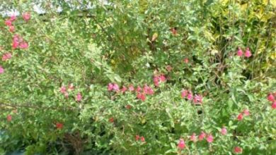 Photo of Cuidados com a planta Salvia microphylla ou Salvia rosa