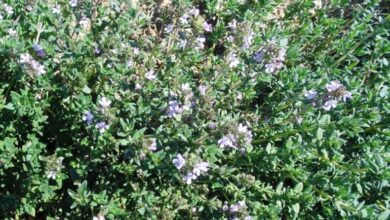 Photo of Cuidados com a planta Thymus vulgaris ou Thyme