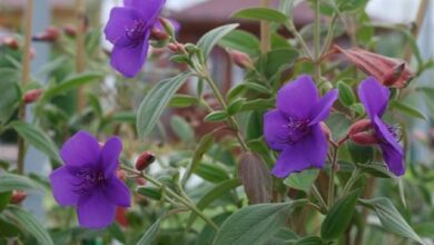 Photo of Cuidados com a planta Tibouchina urvilleana, Planta de la gloria ou Tibuchina