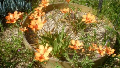Photo of Cuidados com a planta Tritonia crocata ou Crocosmia crocata