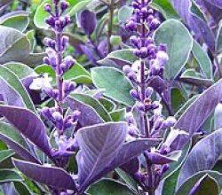 Photo of Cuidados com a planta Vitex trifolia Purpurea ou Arabian Lilac