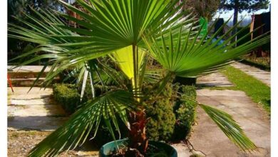 Photo of Cuidados com a planta Washingtonia robusta ou Palma de leque mexicana