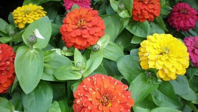 Photo of Cuidados com a planta Zinnia elegans, Mystic Rose ou Zinia