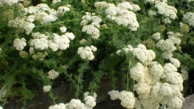 Photo of Cuidados com Achillea abrotanoides ou yarrow