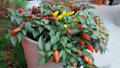 Photo of Cuidados com as plantas Capsicum annuum ou Pimentos Ornamentais