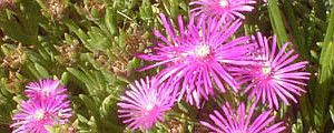 Photo of Cuidados com as plantas Delosperma cooperi ou Pink Carpet
