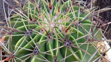 Photo of Cuidados com as plantas Ferocactus histrix ou Barrel Cactus