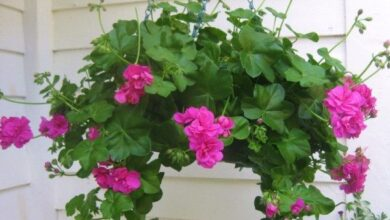 Photo of Cuidados com as plantas Pelargonium peltatum ou Gerânio hera