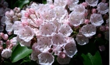 Photo of Cuidados com Kalmia latifolia ou louro da montanha