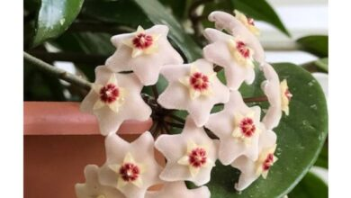 Photo of Cuidados com plantas de Hoya ou Waxflower