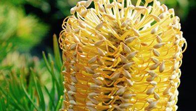 Photo of Cuidados da Banksia praemorsa ou da planta de folhas soltas Banksia